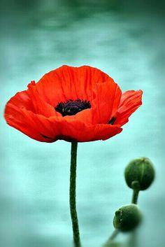 symboliek bloemen: klaproos symbool voor de eeuwige slaap, troost, dromen en hoogmoed
