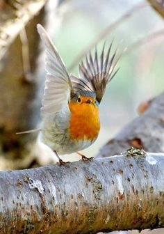 European Robin, Rødkælk, Rødhals, bird, cute, nuttet, wings, feathers, photo