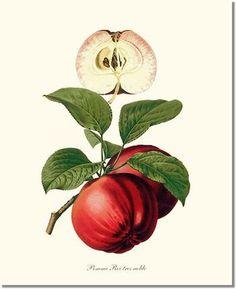 Apple, Roi Tres Noble   Charting Nature - Vintage Botanical, Fish and Wild Bird Art Prints