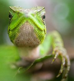 Green Lizard by Max Waugh Photography, via Flickr