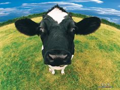 Pix For > Cute Cow Wallpaper