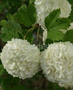 Viburnum Opulus Roseum, Fruit, Garden, Plants, Garten, Lawn And Garden, Gardens, Plant, Gardening