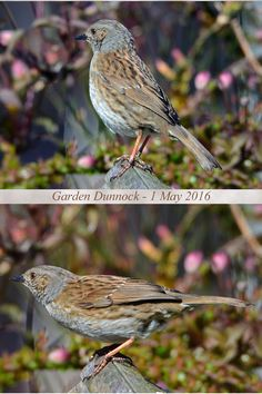 A Dunnock taken with my new Sigma 150-600 Contemporary lens
