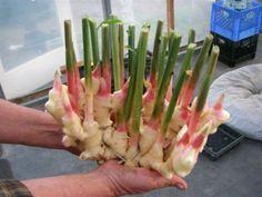 Cómo crecer su propio Ginger - Crecer #edibleginger en un recipiente.  //hortchat.com/info/grow-edible-ginger: