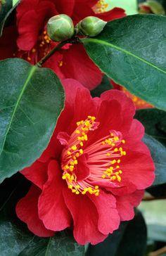 Camellia Arbutus Gem Fotografia de John Glover, uno de los primeros y de los mas importantes fotografos de jardin del Reino Unido