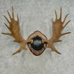 This radical moose antler plaque taxidermy mount is for sale @thetaxidermystore.com