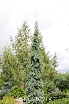 Weeping White Spruce - Monrovia -Reaches up to 20 to 30 ft. tall, 6-10 ft. wide in partial shade