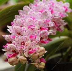 100pcs Cymbidium orchid, Cymbidium seeds bonsai flower seeds, 22 colors to choose, plant for home garden