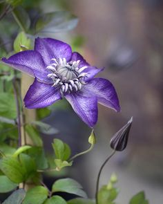 Purple Climber By Ann Bridger
