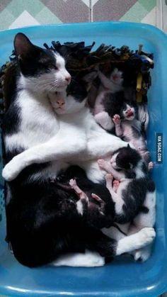 Momma kitty and daddy kitty and their precious newborn kittens