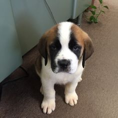 Fluffy Puppies, Little Puppies, Little Dogs, Cute Puppies, Dogs And Puppies, Cute Dogs, Doggies, St Bernard Puppy, Dog Love