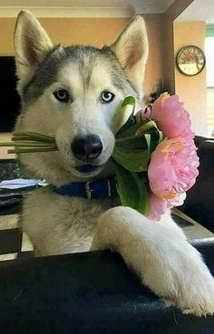 A massive collection of gifts, clothes, mugs, jewelry, everything Husky! All in the same place at the lowest prices. If you are a siberian husky lover check it out. Le Husky, Alaskan Husky, Husky Puppy, I Love Dogs, Cute Dogs, Animals Beautiful, Cute Animals, Sweet Dogs, Snow Dogs