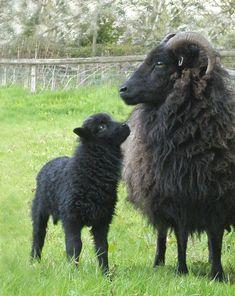 #sheep farm minecraft,#sheep farm diy,sheep farm livestock  #design #education #entertainment #food #drink