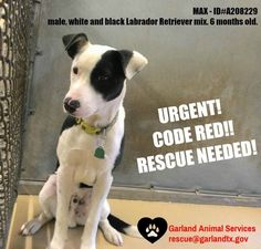****CODE RED - URGENT RESCUE NEEDED**** MAX IS A HANDSOME MALE WHITE AND BLACK 6 MONTH OLD LABRADOR RETRIEVER MIX, IN NEED OF A GENTLE, LOVING HOME. MAX IS FEARFUL AND TIMID, BUT WITH LOVE AND TRAINING HE WILL WARM UP TO YOU. MAX IS AT GARLAND TX ANIMAL SERVICES, 600 TOWER DRIVE, GARLAND, TX 75040 rescue@garlandtx.gov (972) 205-3570