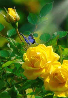 Roses & Butterflies - Animated roses/ butterflies - Community - Google+