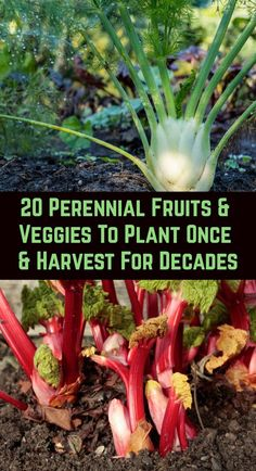 Growing vegetables and fruits in the home garden is rewarding, but many people are put off by the backbreaking work involved at the start of the growing season. Perennial edibles are the answer… Garden, Garden Plants, Garden Landscaping, Plants, Food Garden, Perennials, Perennial Vegetables, Organic Gardening, Permaculture