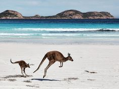 Mother kangaroo and her joey on the beach at Cape Le Grande, Esperance, Western Australia