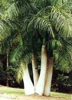 Flowers tropical nature palm trees 17 ideas for 2019 Tropical Landscaping, Tropical Garden, Tropical Plants, Garden Landscaping, Palm Trees Garden, Palm Trees Landscaping, Landscaping Design, Unique Trees, Garden Paths