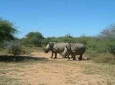 Rhinos at Mabalingwe March 2008