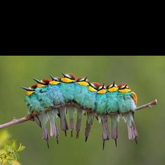Caterpillar birds?