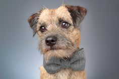 Black & grey herringbone tweed dog bow tie, Doubled with fusible cotton for form & durability