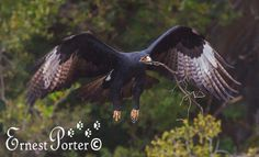 Emoyeni - Black Eagles Rppdekrans Project March 28, 2014 Black Eagle, Raptors, Eagles, Owl, Bird, March, Animals, Animales, Eagle