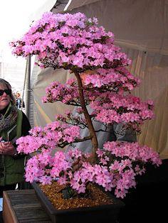 cherry blossom  bonsai  | img 6918 jpg super pretty cherry blossom bonsai cherry blossom ...