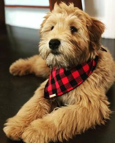 Buffalo Check flannel dog bandana // Red and black check pet bandana // Plaid dog or cat scarf // Preppy hipster puppy bandanna Whoodle Puppy, Puppy Goldendoodle, Goldendoodles, Cat Scarf, Custom Vinyl, Pet Names, Pet Collars, Dog Bandana, Dog Grooming
