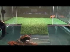 sliders first visit to acrylic above tank basking platform part three Turtle Tub, Turtle Dock, Pet Turtle, Turtle Basking Area, Turtle Basking Platform, Tortoise Aquarium, Turtle Aquarium, Aquarium Ideas, Aquatic Turtle Habitat