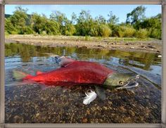 Red Giant Salmon Stuck In The River Images