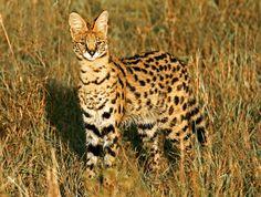 Serval (Leptailurus serval).