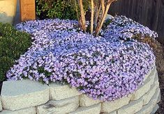 Looks like creeping phlox, but apparently is Trailing Rosemary? One pinner said: Trailing Rosemary produces beautiful blue foliage. It requires little water, and has a moderate growth rate. It has no allergens, but yet is very fragrant. Planting Flowers, Plants, Garden, Lawn And Garden, Creeping Phlox, Outdoor Gardens, Flowers, Garden Landscaping, Landscaping Plants