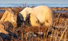 Sun, shine, polar bears, and... Photo by Robert Leaper at Seal River Heritage Lodge.