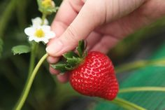 Fukuoka Strawberry Picking Guide 2017   Fukuoka Now