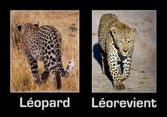 insolite leopard