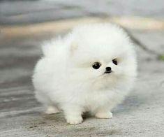 Best Of Cute Pomeranian Puppies Videos Compilation 2018 Cute Dogs White Pomeranian Puppies, Cute Teacup Puppies, Micro Teacup Pomeranian, Miniature Pomeranian, Teacup Pig, Teacup Chihuahua, Cute Baby Dogs, Cute Dogs And Puppies, Puppies Puppies