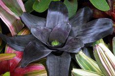 Black Bromeliad Neoregelia | cv. of Pitch Black (F-2) by G.Goode.