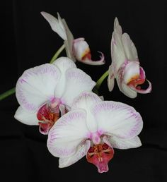 orchidea orchid   Photo by Celo Risi