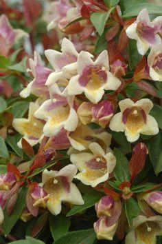Sunny Anniversary®️️ - Abelia x grandiflora