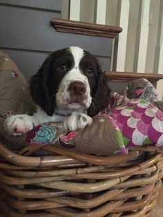 Pet Gear Dog Stroller And Their Panoramic View Springer Spaniel Puppies, English Springer Spaniel, Spaniel Dog, Spaniels, Black Lab Puppies, Dogs And Puppies, Corgi Puppies, Doggies, Dog Bike Carrier