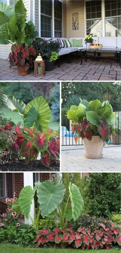 If you are looking for foliage with big impact, then Elephant Ears, and Caladiums are for you! #PatioLandscaping