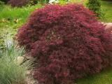 Shop for Baby's Breath Seeds by the Packet or in Bulk.Com offers the Finest and Freshest Baby's Breath Flower Seeds Anywhere. Tamukeyama Japanese Maple, Babys Breath Flowers, Trees Online, Acer Palmatum, Flower Landscape, Maple Tree, Bonsai Garden, Garden Seeds, Lush Green
