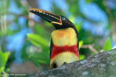 Araçari - Ave da região do Pantanal Matogrossense / Brasil