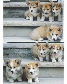 @wilburbeast_the_corgi The only family photo I have with all my brothers and sisters (I wish I knew you all! ) Can you guess which one is me? I know it's so hard.