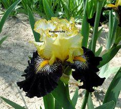 "Tall Bearded ""RECKLESS ABANDON"" Iris - VIVID YELLOW AND BURGUNDY BLACK SUNBURST"