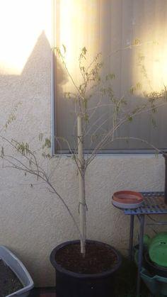 How to prune goji berry bush