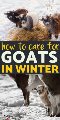 Caring for goats in winter takes extra work and effort on your part. Learn what you need to know about raising goats in snow and cold temperatures to keep them healthy and warm.