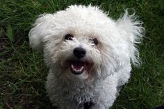 Bichons - cute, smart and a little funny. :)