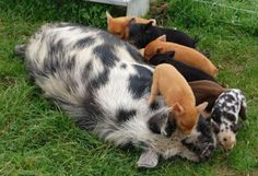 The kunekune is covered in hair which can be long or short, and straight or curly. Hair colours include black, brown, ginger, gold, cream, and spotted combinations. It has a medium to short snout, that is black and either semilopped or pricked ears. It has a short, round body with short legs and two tassels (called piri piri) under its chin. The kunekune stands about 60 cm (24 in) tall, making it one of the smallest domesticated breeds of pig. An adult kunekune can weigh between 60 and 200…