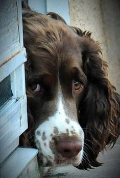 In the dog house - English Springer Spaniel I know this expression sooo well! English Springer Spaniel, Chiots Springer Spaniel, Springer Spaniel Welpen, Perro Cocker Spaniel, Springer Spaniel Puppies, Beautiful Dogs, Animals Beautiful, Chien Springer, I Love Dogs